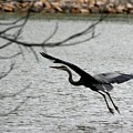 Great Blue Heron In Flight 6 by David Dunham