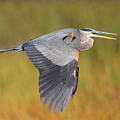 Great Blue Heron In Flight by Bruce J Robinson