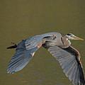 Great Blue Heron In Flight by CJ Park