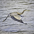 Great Blue Heron In Flight by Shutter Click Photography