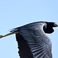 Great Blue Heron In Flight by Teresa Zieba