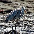 Great Blue Heron In Galapagos by John Haldane