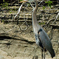 Great Blue Heron In Ozarks by Michael Barry