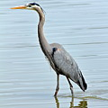Great Blue Heron In River by Daniel Caracappa