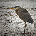 Great Blue Heron In The Snow by Sharon Talson