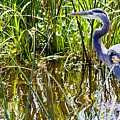 Great Blue Heron In The Wetlands by Roger Wedegis