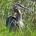 Great Blue Heron by J M Farris Photography