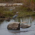 Great Blue Heron by James Smullins
