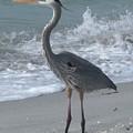 Great Blue Heron by Jeanette Oberholtzer