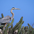 Great Blue Heron by John Hyde - Printscapes