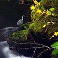 Great Blue Heron by Ken Dietz