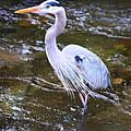 Great Blue Heron by Keri Butcher