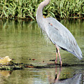 Great Blue Heron by Kristin Elmquist