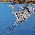 Great Blue Heron Landing In The Marsh by Paulette Thomas