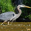 Great Blue Heron by Larry Ricker