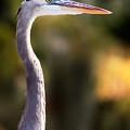 Great Blue Heron by Matt Suess