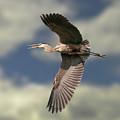 Great Blue Heron by Michael Cummings