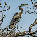 Great Blue Heron by Michael Cunningham