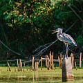 Great Blue Heron Mouth by Edward Peterson