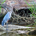 Great Blue Heron by Nancy Comley