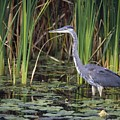 Great Blue Heron by Natural Selection David Spier