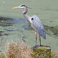 Great Blue Heron Near Pond by Daniel Caracappa