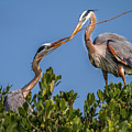 Great Blue Heron Nest Building by Ronald Lutz
