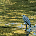 Great Blue Heron On A Golden River by Belinda Greb