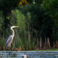 Great Blue Heron On A Handrail by Edward Peterson