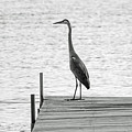 Great Blue Heron On Dock - Keuka Lake - Bw by Photographic Arts And Design Studio