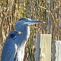 Great Blue Heron On Guard by Pat Miller