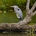 Great Blue Heron On Log by Michael Cummings