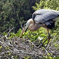 Great Blue Heron On Nest by NaturesPix