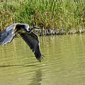 Great Blue Heron On The Wing by Allen Sheffield