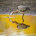 Great Blue Heron On Yellow by Robert Frederick