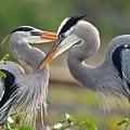 Great Blue Heron Pair 3 by Julie Adair