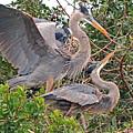 Great Blue Heron Pair  by Alan Lenk
