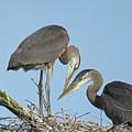 Great Blue Heron Pair by Pat Miller