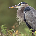 Great Blue Heron  by Patrick M Lynch