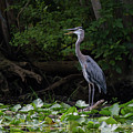 Great Blue Heron by Paul Rebmann