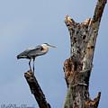 Great Blue Heron Perched by Barbara Bowen