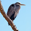 Great Blue Heron Perched On Tree Branch by Terry Elniski