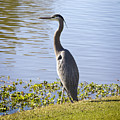 Great Blue Heron by Phyllis Denton