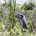 Great Blue Heron by Phyllis Taylor