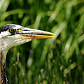 Great Blue Heron Portrait by Debbie Oppermann
