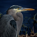Great Blue Heron by Randy Hall