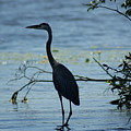 Great Blue Heron by Ron Read