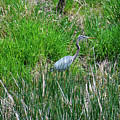 Great Blue Heron Series 1 Of 10 by M Dale