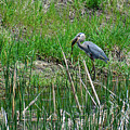Great Blue Heron Series 5 Of 10 by M Dale