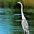 Great Blue Heron Standing Tall by Diann Fisher